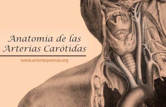 anatomía de las carótidas